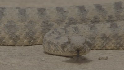Head On Close Up Of Persian Horned Viper In Desert