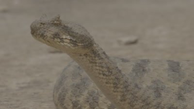 Close Up Of Persian Horned Viper In Desert