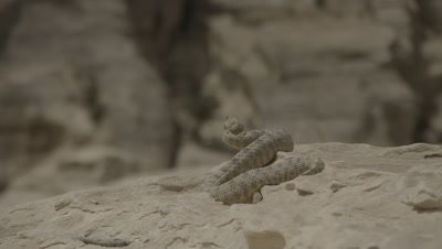 Persian Horned Viper On Rock,Crawls Away