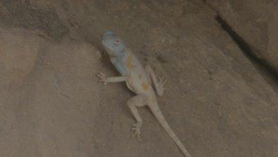Female Agama Lizard Resting On Rocks