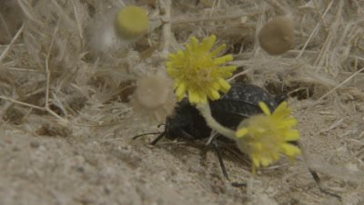 Darkling Beetle Near Desert Wildflowers