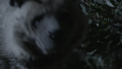 Nocturnal Striped Hyena Scavenges in Forest
