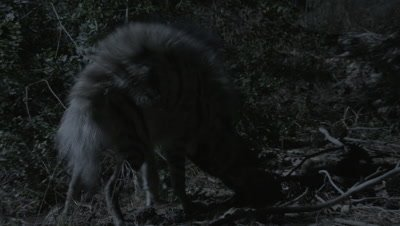 Nocturnal Striped Hyena Scavenges in Forest,Nudges Carcass