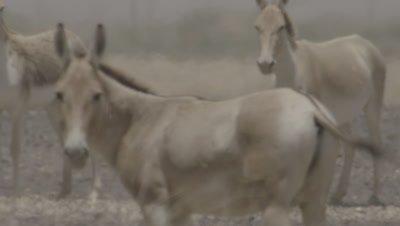 Herd Of Onager Walking In Desert