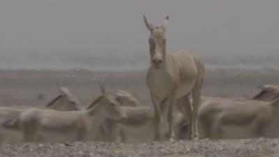 Herd Of Onager Walks Behind Stallion