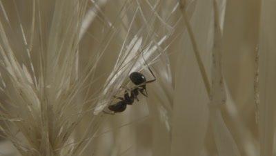 Single Harvester Ant on Grain,Dry Grass