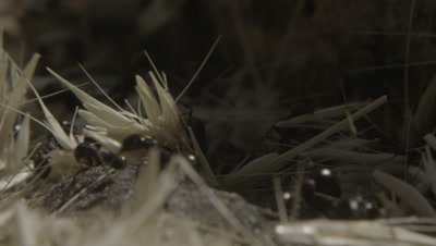 Harvester Ants Carry Grain,Dry Grass