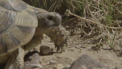 Harvester Ants Carry Grain,Dry Grass,Tortoise passes through frame