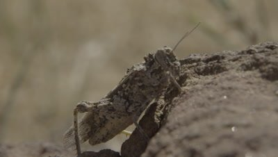Locust or Grasshopper On The Rock And Flies Away