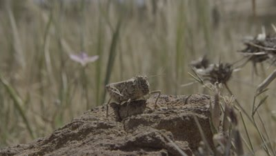Locust or Grasshopper on Desert Rock,flies Away