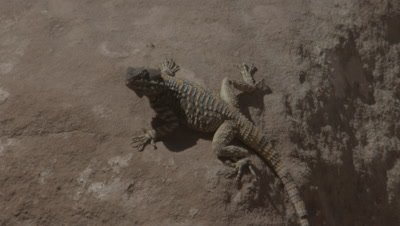 Agama Lizard on Sandstone Structures of Ancient City of Petra