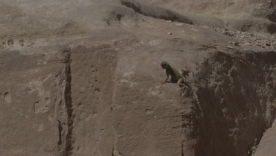 Agama Lizard Push-up Display on Sandstone Structures of Ancient City of Petra