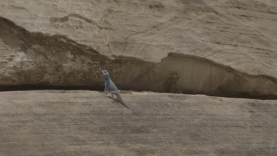 Blue Agama Lizard Push-up Display on Sandstone rocks in Petra