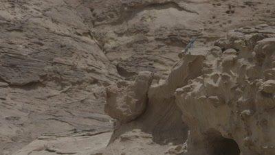 Blue Agama Lizard on Sandstone rocks in Petra