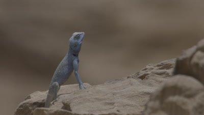 Blue Agama Lizard Stands Upright on Sandstone rocks in Petra