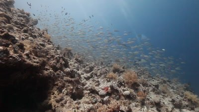 Travel Over Coral Reef to Schooling Juvenile Parrotfish