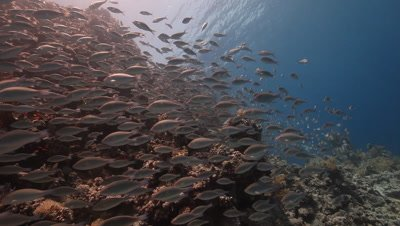 School of Juvenile Parrot Fish Over Reef