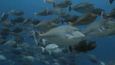 School of Unicorn Fish in Blue Water
