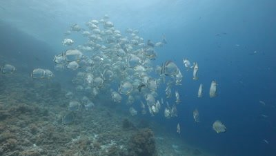 School of Bat Fish Above Reef