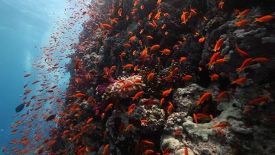 Coral Reef Wall with Schooling Anthias