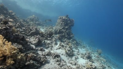 Eagle Ray Swims Above Reef With Remora and Pilot Fish