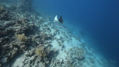 Eagle Ray Swimming Up Reef With Remora and Pilot Fish