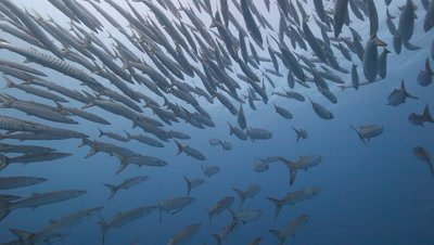 Schooling Barracuda in Blue Water