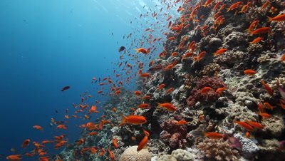 Scenic View of Coral Reef with Schooling Anthias