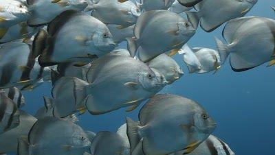 Clsoe up,Schooling Bat Fish In Blue Water