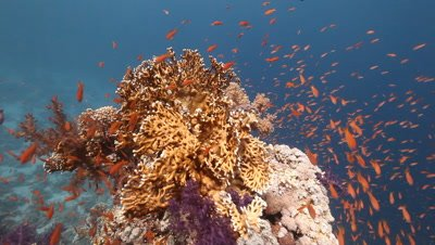 Scenic View of Coral Reef with Schooling Anthias,Travel Close to Fire Coral