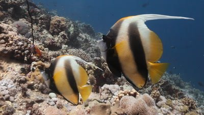 Pair of Red Sea Bannerfish Over Reef