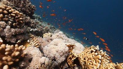 Anthias Above Reef with Umbrella Coral Feeding on Plankton