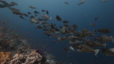 Schooling Unicorn Fish Above Reef