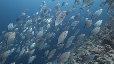 Schooling Yellow Spotted Trevally with Great barracuda