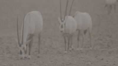 Arabian Oryx in Desert Heat Haze