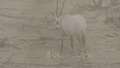 Arabian Oryx Walks in Desert Heat Haze