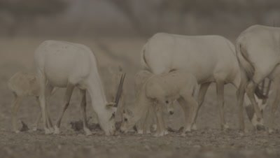 Group Of Arabian Oryx With Calves In Desert