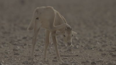 Young Arabian Oryx Stands on three Legs Scratching Head