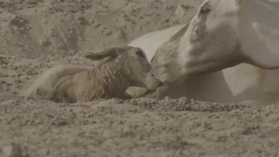 Arabian Oryx calf immediately after birth
