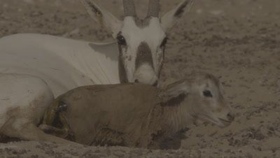 Arabian Oryx Eats Placenta After Giving Birth