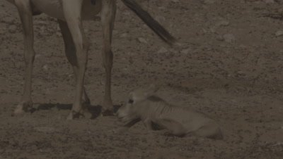 Newborn Arabian Oryx Sitting by mother in Desert