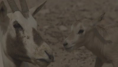 Arabian Oryx with newborn calf struggling to stand