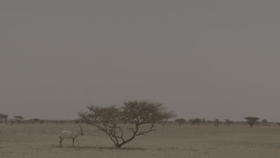 Lone Arabian Oryx Takes Shelter in Shade of Acacia
