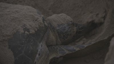 Exhausted Nesting Green Sea Turtle Coveris Up Nest