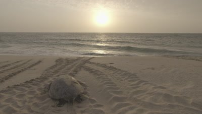 Green Sea Turtle Heads Back To Sea After Nesting,can see other turtle tracks