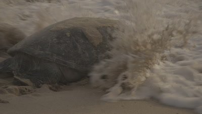 Green Sea Turtle Heads Back To Sea After Nesting,Hit by wave