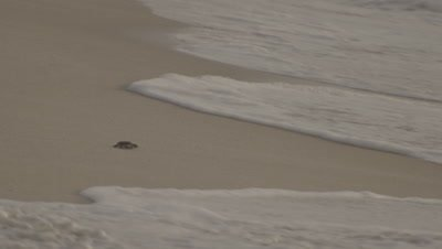 Lone Green Turtle Hatchling Runs to Sea,Hit and Tumbled by Wave