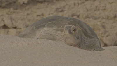 Nesting Green Turtle Rests In Sand