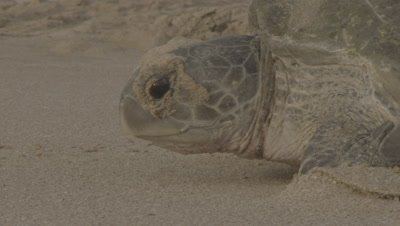 Nesting Green Turtle Crawls In Sand,Maybe back to sea,Close up of Head