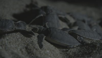 Newly Hatched Green Sea Turtles Still At Nest